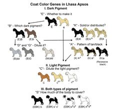 AOAC COLOR BREEDING IN THE GREAT DANE a canine color