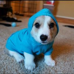 Corgnelius trying on his new outfit. | 61 Images Of Animals That Are Guaranteed To Make You Smile