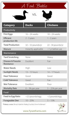 Here's a nifty comparison chart between backyard ducks vs backyard chickens.