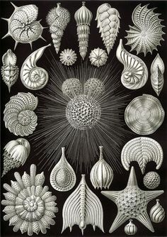 Ernst Haeckel - Kunstformen der Natur - Artforms of Nature: Illustration by Ernst Haeckel