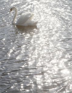 White Aesthetic A swan glides across silver waters. Angel Aesthetic, Aesthetic Colors, Aesthetic Pictures, Retro Aesthetic, Photo Wall Collage, Picture Wall, Aesthetic Backgrounds, Aesthetic Wallpapers, Silver Water