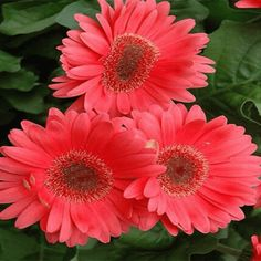 Coral Gerbera Daisy features bold coral-pink daisy flowers with yellow eyes at the ends of the stems from early summer to mid fall