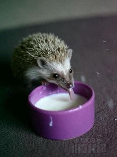 This is a cute picture, but please don't give hedgehogs milk. They're lactose intolerant.