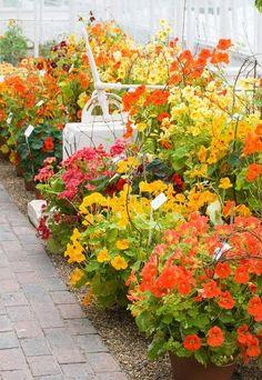 Spoznajte čaro kapucínky: Okrasná, liečivá a navyše jedlá - Pluska.sk Flowers, Plants, Plant, Royal Icing Flowers, Flower, Florals, Floral, Planets, Blossoms