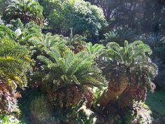 E.Latifrons monsters, Kirstenbosch botanical gardens Living Fossil, Pale Blue Dot, Tropical Gardens, Noblesse, Plant Nursery, Plant Species, Nurseries, Botanical Gardens, Girly Things