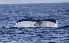 Il cervello (grande e piccolo) delle balene fornisce indizi in ambito cognitivo.