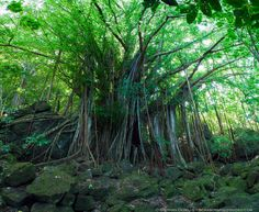 Some say it is the largest Banyan tree in French Polynesia - Location: the jungle of Bora Bora. www.boraboraphotovideo.com