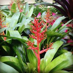 Aechmea bromeliad! #orchidNYBG