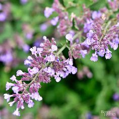 We probably get more compliments about Catmint than any other perennial in our Test Garden. Planted en masse along a border edge, this little powerhouse never fails to…