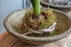 Hyacint - moss