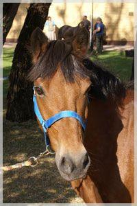 Cyrano jest koniem niezwykle spokojnym i bezproblemowym. Najlepszy dla osób, które kończą jazdy na lonży i uczą się samodzielnej jazdy. Kucyk sam domyśla się często zamiarów jeźdźca i stara się sprostać jego wymaganiom. Cyrano wybacza bardzo wiele błędów swoim jeźdźcom i w związku z tym jest jednym z ulubionych koni do nauki w Poland Parku.