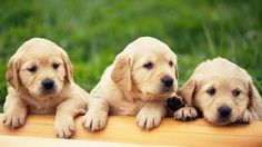 Look at these cuties! | Community Post: 28 Pictures Of Golden Retriever Puppies That Will Brighten Your Day