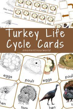 {FREE} Printable Turkey Life Cycle Cards