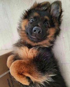 Adorable German Shepherd puppy! Who could resist that face? I sure couldn't!