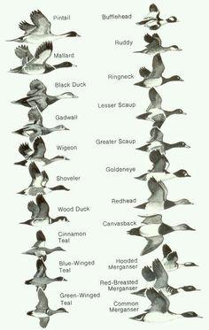Wild duck types.....