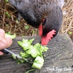 Healthy (and Creative) Treats for Your Chickens | Fresh Eggs Daily®