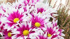 Chcete nádherné chryzantémy? Pamätajte na tieto tipy