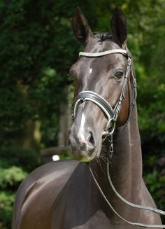 San Rio, Gelding - German Horse Center