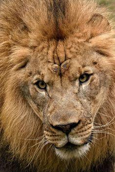Male Lion at the Philadelphia Zoo | Lion Portrait