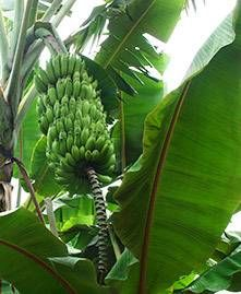 Banana trees have big lush leaves that provide gardens with a rich tropical look. The jungle-like appearance often has people thinking that these exotic tr