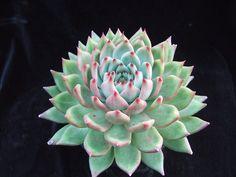 Echeveria 'Morgain', an agavoides hybrid
