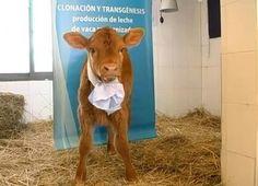 First bi-transgenic cloned veal would produce in its adulthood two human milk proteins... (Rosita, la primera ternera bi-transgenica clonada en el mundo... producirá en su vida adulta dos proteínas de la leche materna humana)   Source: http://www.youtube.com/watch?v=Vyj85c2oFlI