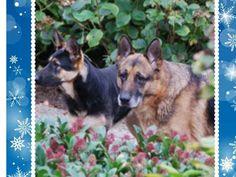 Ingezonden foto's van #Duitse herder. Macho en Truffel Een hele oude van 14 jaar en een jonkie van 1 jaar. Ze vormen een geweldig team