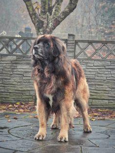 "Bubba"" Leokings Center Stage @Hillhaven Jun Ch Jun CW 15 #Leonberger #Pets #Hillhaven #Dogs"