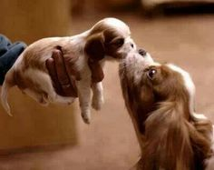 Everything we enjoy about the Fun Cavalier King Charles Spaniel Puppies Animals And Pets, Baby Animals, Funny Animals, Cute Animals, Cute Puppies, Cute Dogs, Dogs And Puppies, Spaniel Puppies, Puppies Tips
