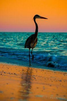 heron the beach at sunset