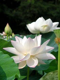 white lotus meditation