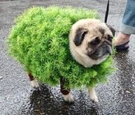 """I still think this is the most interesting costume on a pug """"cha cha cha chiapug"""""""