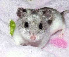 hamster chinês♥