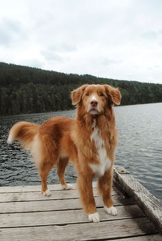 Nova Scotia duck tolling retriever on a dock