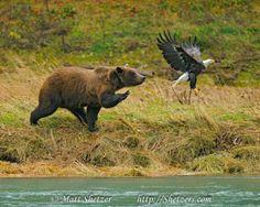 Grizzly Bear Attacks Bald Eagle in Alaska Bear Images, Bear Pictures, Bear Photos, North To Alaska, Bear Attack, Bear Paintings, Cute Bears, Animal Photography, Wildlife Photography