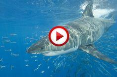 Shark Attack Surfers Experiment #extreme, #surfing, #sharks, #videos, #pinsland, https://apps.facebook.com/yangutu