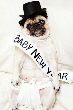 new year doggie baby new year pugs in costume kid costumes pug pictures