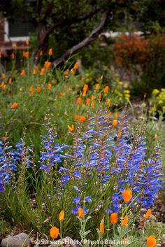 Penstemon heterophyllus (Blue Bedder) with orange poppies - California native plant (got it!)
