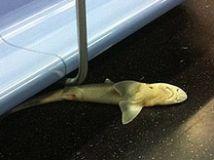 Hallan tiburón muerto en metro de Nueva York