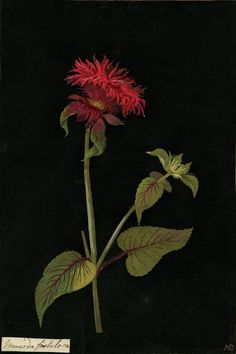 Mary Delany, Monarda Fistulosa collage, 1777 .