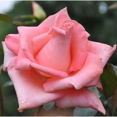 Cloud Nine rose.  An extremely vigorous and easy to grow rose with its very large blooms of striking, bright, iridescent pink. Add to this great fragrance and rich green foliage, you won't want to miss having this rose in your garden.
