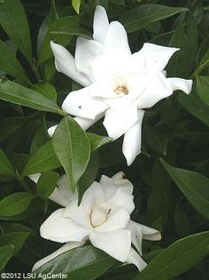 White fragrant flower of 'Frostproof' Gardenia  Louisiana Super Plant Spring 2011