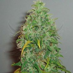 Skunk #1 Feminized Cannabis Seeds by Royal Queen Seeds