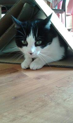 Chat noir et blanc danc sa cabane en carton