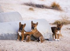 Dingo pups are born in litters – an average of five are born per litter, but the number can reach ten. Pups become independent at three to four months old.