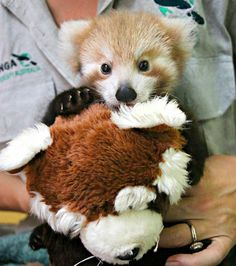 A Red Panda cub is making a remarkable recovery at Taronga Zoo with the help of a surrogate mom and a cuddly soft toy. The two-month-old female cub, named Maiya, gets round-the-clock care after sustaining a neck injury while being carried in her mother's mouth