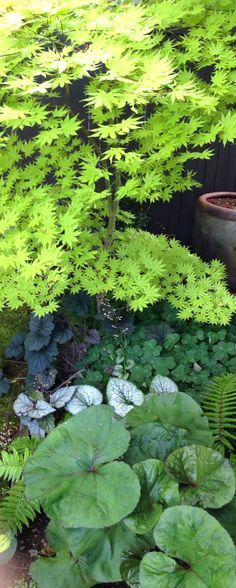 """I like this plant --- """"Full Moon"""" Maple in a shade garden - to brighten a dark corner"""