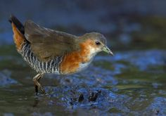 Rufous-sided Crake-   Laterallus melanophaius by Thiago T. Silva on 500px