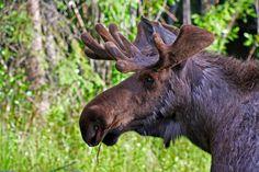 Young Bull Moose. North Pole, Alaska