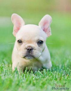 I want him! French Bulldog; <3